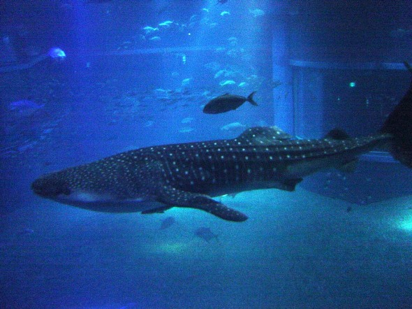 Whale_Shark_at_Osaka_Aquarium