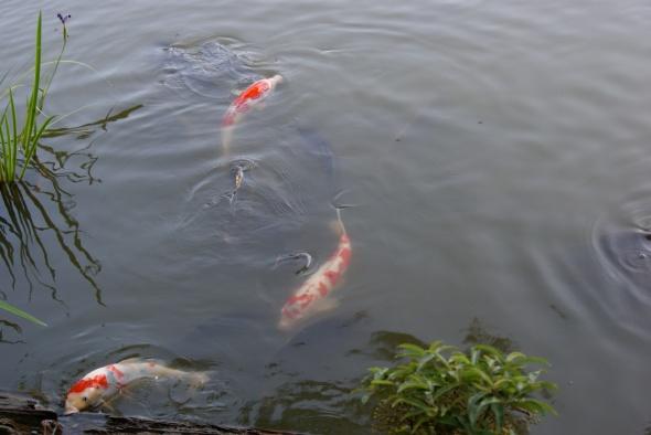 les fameuses Koi en eau claire
