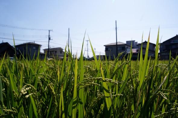 rizière, Shin-Fuji