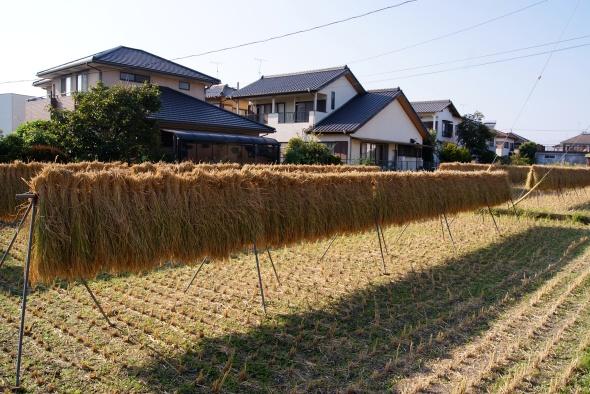 sechage du riz, Shin-Fuji