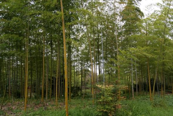 bambous et intrus